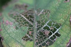 Swiss Cheese?? (herman hengelo) Tags: hortensia hengelo twente nederland tuin garden