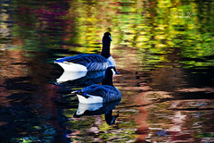 painted river ... (mariola aga) Tags: belviderespencerpark belvidere park river kishwaukeeriver autumn water colors canadageese geese birds reflection thegalaxy