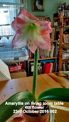 Amaryllis on living room table 4th flower 23rd October 2016 002 (D@viD_2.011) Tags: amaryllis living room table 4th flower 23rd october 2016