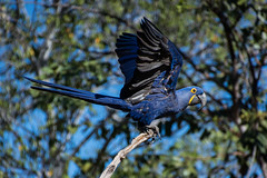 Hyacinth Macaw - Take Off (Barbara Evans 7) Tags: hyacinth macaw taking off pantanal brazil barbara evans7