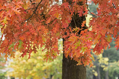 Crossing the Line (Synapped) Tags: autumn fall tree red leaf leaves maple