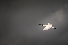 Royal Spoonbill (davidandsus) Tags: bird bif sky cloud white littlestories picswithsoul