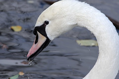 Swan (Mike Serigrapher) Tags: mute swan cygnus olor bird etherow park compstall beautiful plumage