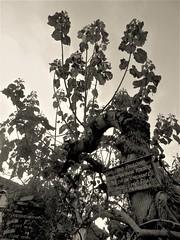 Ciao, sono Paulonia ... (magellano) Tags: mel belluno italia italy fico fig scritta sign paulonia albero tree