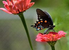 Pipevine swallowtail (justkim1106) Tags: butterfly insect flower zinnia nature