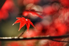 Red Maple Leaves (JPShen) Tags: leaf leaves autumn maple red bokeh
