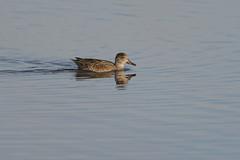 Duck-40231.jpg (Mully410 * Images) Tags: burnettcounty birdwatching birding crexmeadowsstatewildlifearea crexmeadows birds wisconsin bird fowl waterfowl duck waves