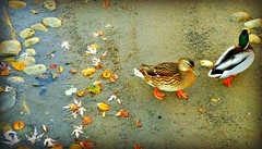 """""""Be happy, not because everything is good but you can see the good in everything"""" (Trinimusic2008) Tags: trinimusic2008 judymeikle nature ducks november 2016 fall neighbourhood outdoors water swimming toronto to ontario canada"""
