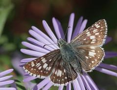 Checkers (cotinis) Tags: insect butterfly lepidoptera hesperidae pyrginae pyrgus pyrguscommunis checkeredskipper commoncheckeredskipper northcarolina piedmont sigma150mmexdgf28macro bmna nc november