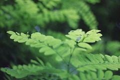 (mihxiii) Tags: nature green 50mm 18 f18 film looking grain jungle
