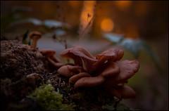 MUSHROOMS . (TOYOGRACOR) Tags: mushrooms setas mygearandme naturaleza hongos fungi fungus mywinners aplusphoto macro flickrdiamond bej canon explore flickr dof mygearandmepremium mygearandmebronze mygearandmesilver theoriginalgoldseal soe flickrs bosque godlovesyou fav50 fav100 musgo profundidad profundidaddecampo bokeh bòque desenfoque luz