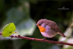 Robin in the garden (hbua) Tags: petirrojo erithacusrubecula pajaro passerine paseriforme robin nature naturaleza graden jardin