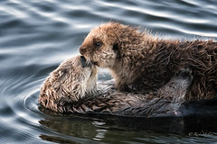 Mother and Child - DROH (morrobayrich) Tags: seaotter enhydralutris morrobayca mother juvenile droh dailyrayofhope