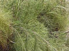 Rhodocoma capensis 2 (heinvanwinkel) Tags: 2014 bloemvandedag commelinids euphyllophyta hortus januari leiden liliopsida magnoliophyta mesangiospermae nederland papyrus petrosaviidae poales restionaceae rhodocomacapensis spermatophyta tracheophyta