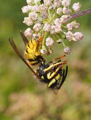 Vespula vulgaris_High Farm Meadow CWS_Andrew Green_12Sept2015 (2) (Andrew Green @nature_spotter) Tags: vespula vulgaris socialwasp wasp