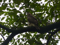 Central Park hawk (ndh) Tags: