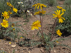 cutleaf balsamroot, Balsamorhiza hookeri (Jim Morefield) Tags: douglascounty nevada unitedstates asteraceae sunflowerfamily balsamorhiza balsamorhizahookeri wfgna flora wildflower wildflowers angiosperm dicot plant flowers flower blossom bloom cutleafbalsamroot geophyte steppe sierranevada carsonvalley spring humboldttoiyabenationalforest toiyabenationalforest greatbasin soil eswild olympus evolt e510 olympuse510 jdm20160575 taxonomy:family=asteraceae taxonomy:genus=balsamorhiza taxonomy:binomial=balsamorhizahookeri taxonomy:common=cutleafbalsamroot geo:alt=1605m yellow orange 5petals manypetals roundcluster