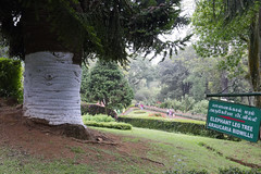 Elephant's Leg Tree (code_martial) Tags: ooty2016 coonoor d3300 1685mmf3556gvr simspark