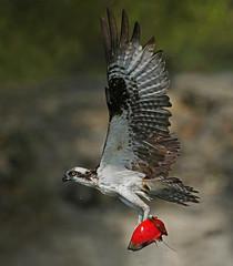 Nature's Drone (ken.helal) Tags: 20150630ospreyheron