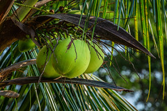Green Coconut (Curious ClickZ of Rezwanul Alam) Tags: nature tree coconut beautiful bangladesh canon eos 70d lightroom outdoor leaves healthy flickr bokeh