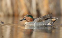 Sarcelle d'hiver ♂- Common Teal -  Anas crecca (Maxime Legare-Vezina) Tags: bird oiseau duck nature wild wildlife animal fauna biodiversity ornithology canon water lake