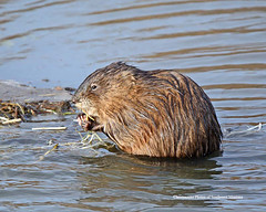 Snacking (Photos of Southwest Montana) Tags: muskrat water beaver mud wet wildlife nature winter north america american beaverhead nikontamron beaverheaddeerlodge national forest photosofsouthwestmontana dillon montana bradchristensen