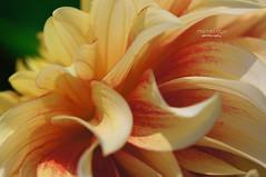 ~ with grace ~ (mariola aga) Tags: chicagobotanicgarden glencoe summer garden flower petals closeup macro peach yellow shape charm grace thegalaxy