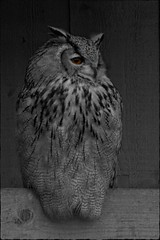 Eagle Owl (metsemakers) Tags: eagle owl uil oehoe bw zwart wit