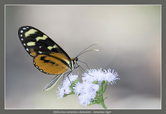 Ismenius tiger (Jan H. Boer, Nature photographer) Tags: heliconiusismeniusclarescens ismeniustiger butterflies insects nature macro costarica turrcares nikon d5200 3000mmf40 jansphotostream2016