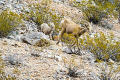 047-VOF160131_46605 (LDELD) Tags: nevada desert rugged dry harsh wild valleyoffire bighornsheep animal wildlife rocky