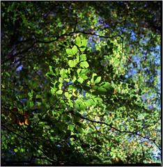 als der Oktober wie Frühling aussah (Ulla M.) Tags: barloerbusch dorsten wald laub blätter grün mittelformat 6x6 canoscan8800f selfdeveloped selbstentwickelt tetenalcolortec quadrat analog fujireala umphotoart yashicamat124g