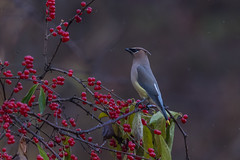 Cedar Waxing (hey its k) Tags: birds cherryhillrbg hamilton nature burlington ontario canada ca img8947 canon6d tamron 150600mm cedarwaxing valleyinnrd
