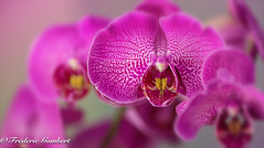 Pink friends (frederic.gombert) Tags: orchid orchids light flower red pink yellow color colors green plant garden interior macro nikon d810