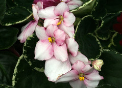 20-IMG_4751 (hemingwayfoto) Tags: berggartenhannover blhen blte blume flora floristik natur topfpflanze usambara usambaraveilchenpowwow veilchen zierpflanze zuchtform