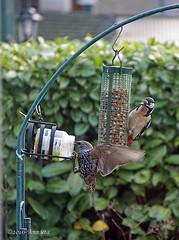 Woodpecker in the garden! ( Annieta ) Tags: annieta november 2016 sony a6000 nederland netherlands krimpenerwaard tuin garden jardin vogel bird oiseau specht spreeuw allrightsreserved usingthispicturewithoutpermissionisillegal woodpecker bontespecht starling