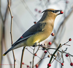 Cedar Waxwing (rumerbob) Tags: cedarwaxwing waxwing songbird bird birdwatching birdwatcher nature naturewatcher wildlife peacevalleypark lakegalena canon7dmarkii canon100400mmlens ngc
