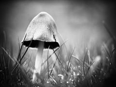 Champignon. (steph20_2) Tags: panasonic lumix gh3 m43 45mm monochrome monochrom champignon mushroom macro closeup noir noiretblanc ngc blanc black bw white skanchelli