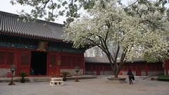 Flowering pear trees in the Zhihua temple, Beijing (Katong) Tags: china temple buddhist beijing eunuch peartree mingdynasty zhihua woodenconstruction