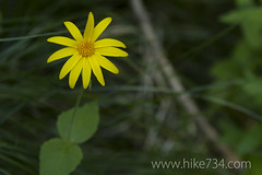 "Mountain Arnica • <a style=""font-size:0.8em;"" href=""https://www.flickr.com/photos/63501323@N07/7069600257/"" target=""_blank"">View on Flickr</a>"