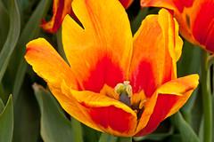 Red/Yellow Tulip (BrakingEven) Tags: canon albanyny tulipfestival washingtonpark canon40d canon100mmf28lisusm