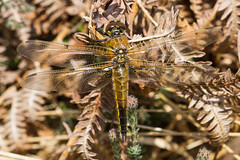 Four-spotted Chaser (markwright12002) Tags: dragonfly may dorset wareham 2013 mordenbog