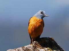 Melro-das-rochas (anacm.silva) Tags: wild naturaleza bird portugal nature birds wildlife natureza aves ave serradafreita monticolasaxatilis rockthrush melrodasrochas