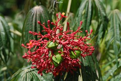 fleurs et plantes du Costa-Rica / flowers and plants in Costa Rica (pontfire) Tags: voyage road trip travel flowers plants plant flower tree nature fleur fleurs montagne plante river landscape amrica costarica tour natural traverse rivire paysage cascade arbre moutain touring locomotion excursion plantes centroamrica amrique peregrinations ujarras centraleamerica tapantnationalpark pontfire