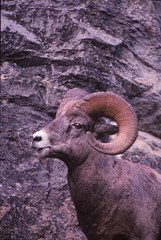 IMG_0086 (Rock Rabbit Photo) Tags: scans sheep horns bighorn rams slides