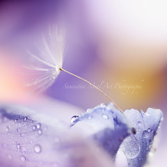 *) (Samantha Nicol Art Photography) Tags: pink iris abstract flower macro art nature water square weed purple bokeh dandelion petal droplet samantha nicol