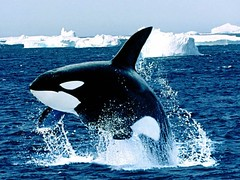 Emerging_Killer_Whale (XandeCosta) Tags: wallpaper 1024x768