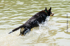 Limit Swims 2013-05-21-16 (falon_167) Tags: dog australian limit kelpie australiankelpie