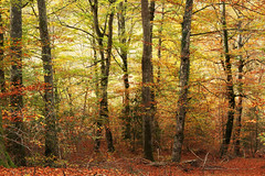 Forest with autumn colors (Mimadeo) Tags: autumn trees orange tree leaves yellow forest log shaggy thick beech rambling dense pictorical