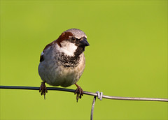 House Sparrow (alone68) Tags: nature birds canon wildlife sparrow