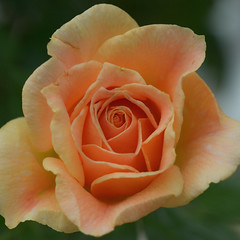Exposed (Three D Photos) Tags: pink light roses orange sunlight flower color macro green rose yellow nikon soft bokeh softness micro 60mm blooms depth f28 d7100